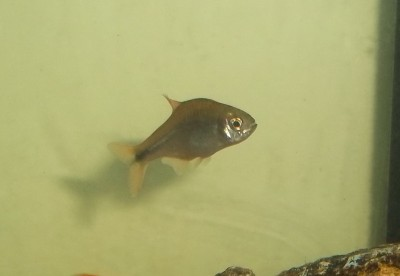 Помогите опознать рыбку опознание рыб  - 100_0529.JPG