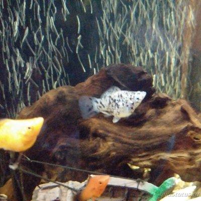 Беременна ли рыбка в аквариуме? - IMG_20170322_225654.jpg