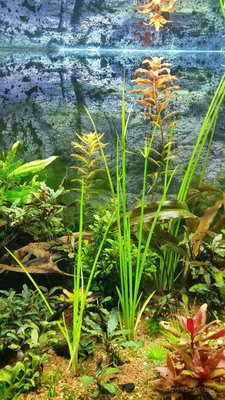 Аквариумные растения - опознание растений. - аквариумное растение1.jpg