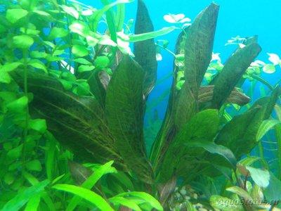 Аквариумные растения - опознание растений. - 2017-04-04 19.28.36.jpg