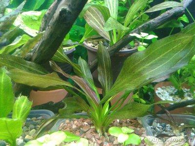Аквариумные растения - опознание растений. - 2017-04-04 19.29.23.jpg