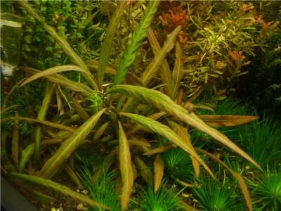 Аквариумные растения - опознание растений. - гигрофила.jpg