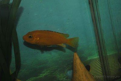 Помогите опознать рыбку опознание рыб  - _DSC0234.JPG