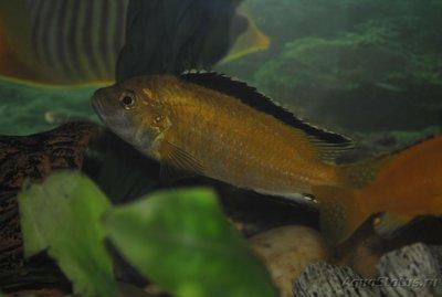 Помогите опознать рыбку опознание рыб  - _DSC0236.JPG