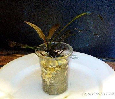 Аквариумные растения - опознание растений. - IMG_20170514_084015с.jpg