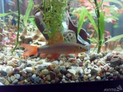 Помогите опознать рыбку опознание рыб  - 54783245.jpg