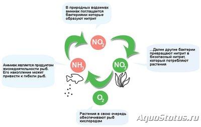 Мутная вода в аквариуме, муть в аквариуме - Азотный-цикл-в-аквариуме.jpg