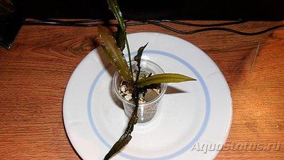 Аквариумные растения - опознание растений. - SAM_4279.JPG