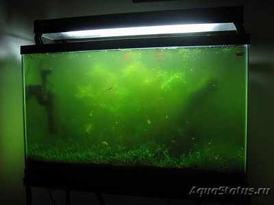 Цветение воды, зеленая вода, позеленела аквариум - Цветение-воды-в-аквариуме-1.jpg