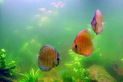 Цветение воды, зеленая вода, позеленела аквариум - Цветение-воды-в-аквариуме-2.jpg