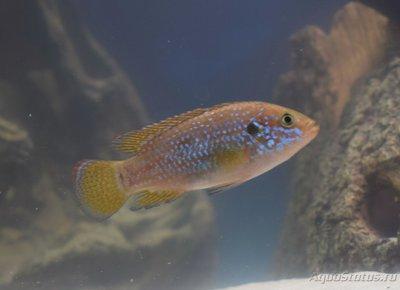 Помогите опознать рыбку опознание рыб  - DSC_0025.JPG