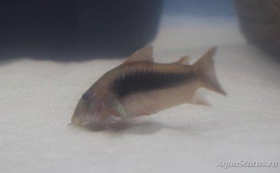 Помогите опознать рыбку опознание рыб  - DSC_0031.JPG