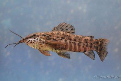 Помогите опознать рыбку опознание рыб  - DSC_0038.JPG