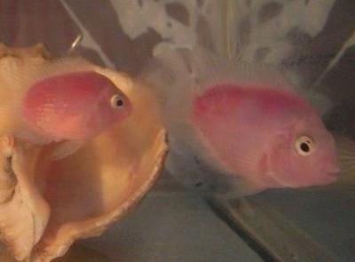 Помогите опознать рыбку опознание рыб  - P6192922.JPG