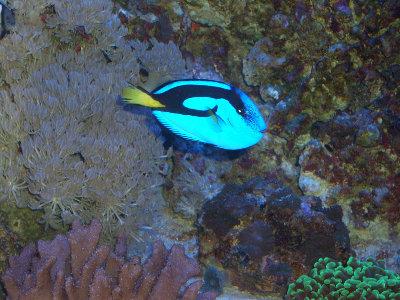 Мой морской аквариум 250 литров Сергей  - CIMG2257.JPG