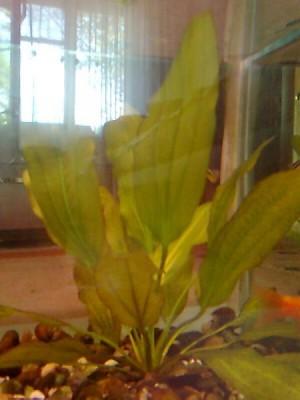 Аквариумные растения - опознание растений. - Фото0294.jpg