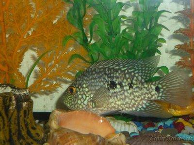 Помогите опознать рыбку опознание рыб  - P1020527.JPG