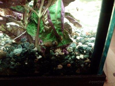 Улитки в аквариуме. Пресноводные моллюски. - IMG_20170701_221113.jpg