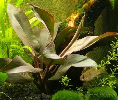 Растения продающиеся под видом аквариумных - P70702-214916(1).jpg