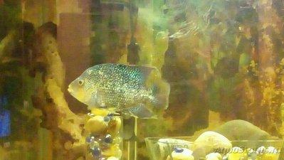 Помогите опознать рыбку опознание рыб  - 3622936341.jpg