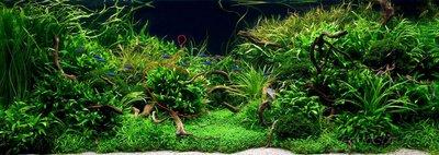 Аквариумные растения - опознание растений. - dense.jpg