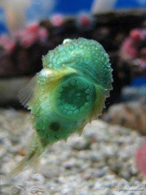 Фотографии необычных водных обитателей - pinagor15-465x620.jpg