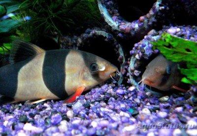 Боция Клоун в аквариуме. - 3 (5).jpg