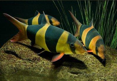 Боция Клоун в аквариуме. - 9aClowns121206.jpg