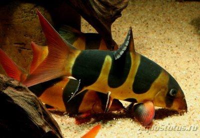 Боция Клоун в аквариуме. - fish740.jpg