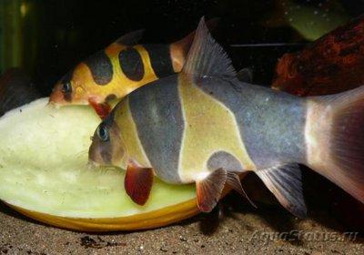 Боция Клоун в аквариуме. - P1090791.jpg