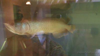 Помогите опознать рыбку опознание рыб  - image-0-02-04-c41bed2997a5795666faa1e2730cc2123259feb1e27d5289a23e7498236d4dd1-V.jpg
