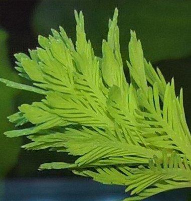 Аквариумные растения - опознание растений. - WP_20170801_18_33_11_Pro (3).jpg