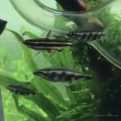 Помогите опознать рыбку опознание рыб  - IMG_1329.JPG