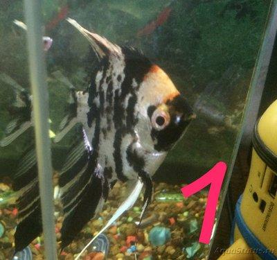 Беременна ли рыбка в аквариуме? - IMG_1215.JPG