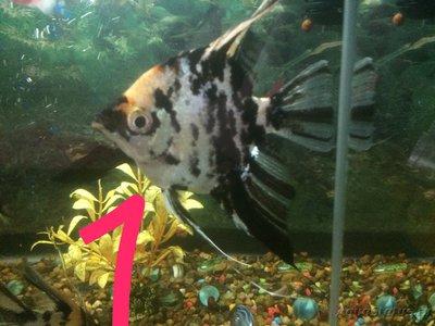 Беременна ли рыбка в аквариуме? - IMG_1218.JPG