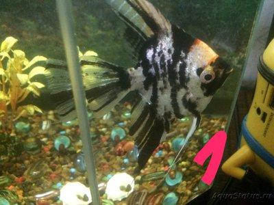 Беременна ли рыбка в аквариуме? - IMG_1223.JPG