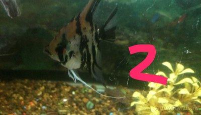 Беременна ли рыбка в аквариуме? - IMG_1225.JPG