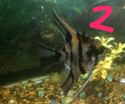 Беременна ли рыбка в аквариуме? - IMG_1226.JPG