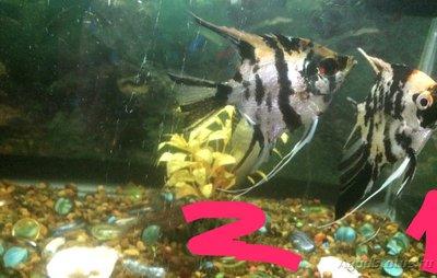 Беременна ли рыбка в аквариуме? - IMG_1227.JPG