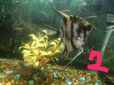 Беременна ли рыбка в аквариуме? - IMG_1228.JPG