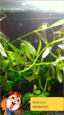 Аквариумные растения - опознание растений. - TMPDOODLE1503750994391.jpg