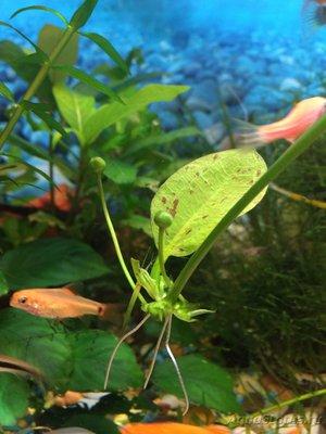 Аквариумные растения - опознание растений. - image.jpeg