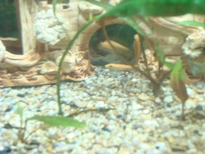 Помогите опознать рыбку опознание рыб  - DSC03530.JPG