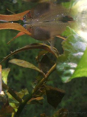 Помогите опознать рыбку опознание рыб  - 1621CC92-5CA2-455C-BBF4-1467D66584BD.jpeg