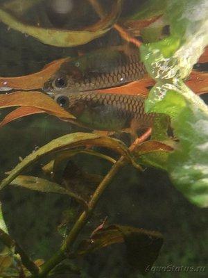 Помогите опознать рыбку опознание рыб  - C5711323-260F-4433-BBED-6C5D80ED23E2.jpeg