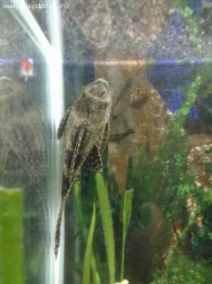 Помогите опознать рыбку опознание рыб  - 15072011150.jpg