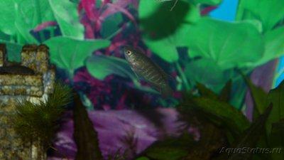 Помогите опознать рыбку опознание рыб  - P1280024.JPG