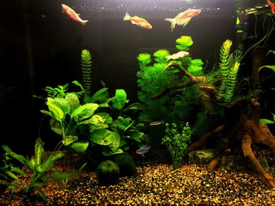 Мой аквариум и его обитатели, 70 литров Бошетунмай  - IMG_1991.JPG