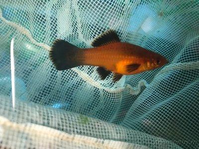 Беременна ли рыбка в аквариуме? - image.jpg