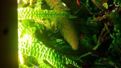 Аквариумные растения - опознание растений. - 20171217_090955.jpg